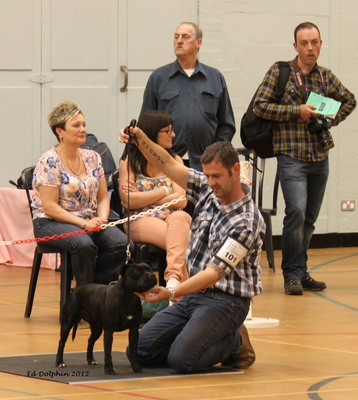 Marstaff Diamond Cut, 1st Limit bitch Potteries champ show 2012, Judge Ron Chell.pic Ed Dolphin